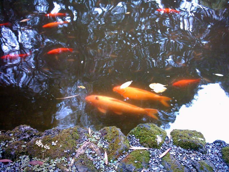 Oahu Byodo-In Temple Koi